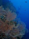 巨型海底扇珊瑚 免版税库存图片