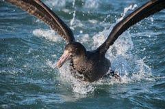 巨型海燕 免版税图库摄影