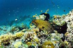 巨型海鳗在Sipadan,马来西亚 免版税库存图片