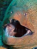 巨型海鳗 免版税库存图片