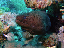 巨型海鳗 库存照片