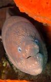 巨型海鳗- Gymnothorax javanicus -加那利群岛 免版税库存图片
