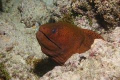 巨型海鳝头Gymnothorax javanicus 图库摄影