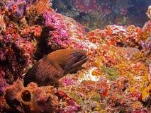 巨型海鳝 免版税图库摄影