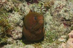 巨型海鳝Gymnothorax javanicus头  免版税库存图片
