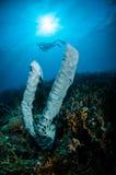巨型海绵Petrosia lignosa萨尔瓦多dali青少年在哥伦打洛市,水下的印度尼西亚 库存图片
