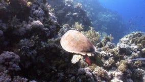 巨型爬行动物Hawksbill海龟玳瑁imbricata在红海 股票录像