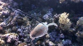 巨型爬行动物Hawksbill海龟玳瑁imbricata在红海 股票视频