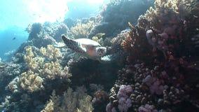 巨型爬行动物Hawksbill海龟玳瑁imbricata水下在珊瑚 股票视频