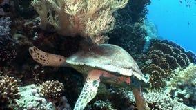 巨型爬行动物Hawksbill海龟玳瑁imbricata水下在珊瑚 股票录像