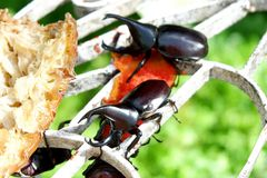 巨型犀牛甲虫Dynastinae 免版税库存图片