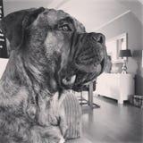 巨型狗 免版税图库摄影