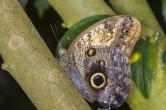 巨型猫头鹰蝴蝶 库存图片
