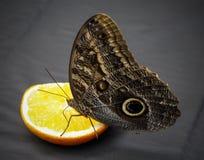 巨型猫头鹰蝴蝶 免版税图库摄影