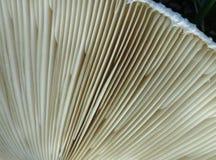 巨型白色蘑菇爱好者 免版税图库摄影