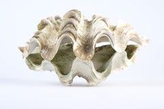 巨型白色蛤蜊壳 免版税库存图片