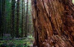 巨型的原始林落基山桧树被分裂的单独的树木繁茂的雨林 免版税库存图片