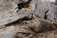 巨型的老木头 库存照片