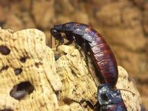 巨型的蟑螂 免版税库存照片