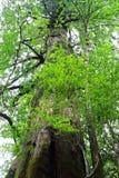 巨型的雪松叶子在Yakusugiland公园,其中一个屋久岛海岛自然休闲森林,日本 库存照片