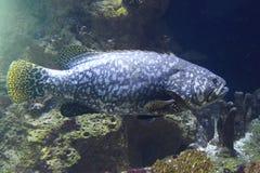 巨型石斑鱼 库存图片
