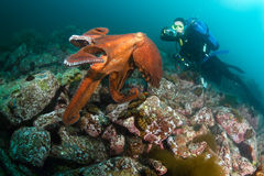 巨型章鱼dofleini和潜水员 库存照片