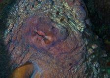 巨型章鱼Enteroctopus的眼睛, 免版税库存照片