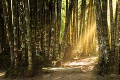 巨型竹子森林 库存图片