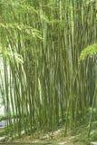 巨型竹子绿色藤茎在庭院里 免版税库存照片