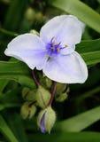 巨型紫露草属 库存照片