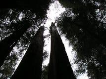 巨型红木在俄勒冈森林里 库存图片