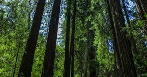 巨型红木在旧金山附近的Muir森林国家历史文物 影视素材