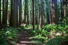 巨型红木森林 免版税库存照片
