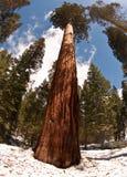 巨型红木结构树 免版税图库摄影
