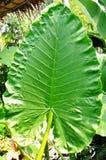巨型绿色叶子 库存照片