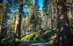 巨型美国加州红杉和美丽如画的森林高速公路在晴朗的美洲杉国家公园 库存照片