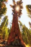 巨型美国加州红杉和阳光与软的金黄光 免版税库存照片