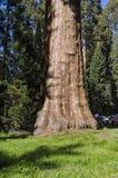 巨型美国加州红杉在加利福尼亚 免版税库存照片