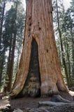 巨型美国加州红杉在加利福尼亚 免版税库存图片