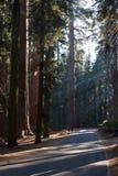 巨型美国加州红杉在加利福尼亚 库存图片