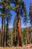 巨型美国加州红杉在谢尔曼树丛里 库存图片