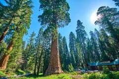 巨型美国加州红杉树在美洲杉国家公园在博物馆和访客中心附近的加利福尼亚美国 库存图片