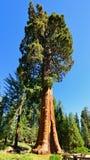 巨型美国加州红杉树在美洲杉国家公园 免版税图库摄影