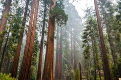 巨型美国加州红杉树在Mariposa树丛,优胜美地国家公园里 库存照片
