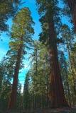 巨型美国加州红杉树或者山脉红木 免版税库存照片