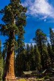 巨型美国加州红杉树,巨型森林,加利福尼亚美国 免版税库存照片