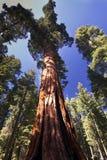 巨型美国加州红杉树, Mariposa树丛,优胜美地国家公园,加利福尼亚,美国 免版税库存图片