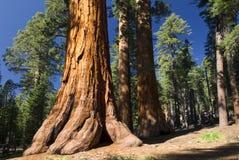 巨型美国加州红杉树, Mariposa树丛,优胜美地国家公园,加利福尼亚,美国 免版税库存照片