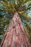 巨型美国加州红杉树 库存图片