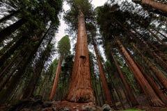 巨型美国加州红杉森林在美洲杉国家公园,加利福尼亚 图库摄影